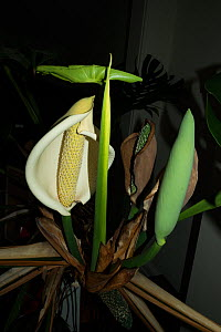 Swiss cheese plant (Monstera deliciosa) in flower. - Georgette Douwma