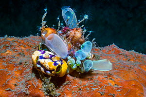 Sea squirts: Golden sea squirt (Polycarpa aurata) and Blue club tunicate (Rhopalaea crassa)  Lembeh, Sulawesi, Indonesia.  -  Georgette Douwma