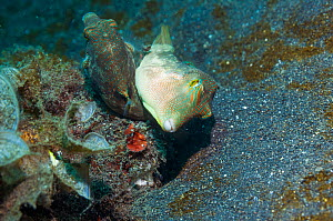 Bennett's toby or pufferfish (Canthigaster bennetti) mating.  Lembeh, Sulawesi, Indonesia.  -  Georgette Douwma