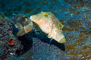 Bennett's toby or pufferfish (Canthigaster bennetti) courting.  Lembeh, Sulawesi, Indonesia.  -  Georgette Douwma