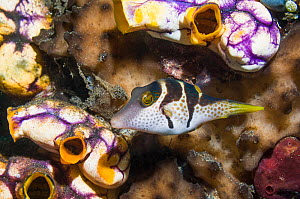 Valentine's puffer (Canthigaster valentini) with Golden sea squirts (Polycarpa aurata)  Lembeh, Sulawesi, Indonesia. - Georgette Douwma