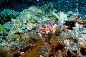 Freckled or Spiny porcupinefish (Diodon holocanthus) with Funnel weed (Padina gymnospora)  Lembeh, Sulawesi, Indonesia. - Georgette Douwma