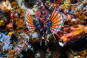 Zebra lionfish (Dendrochirus zebra) seen from behind against coral wall.  Lembeh, Sulawesi, Indonesia. - Georgette Douwma