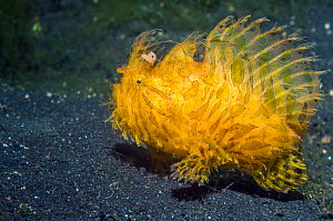 Striped or Hairy frogfish (Antennarius striatus)  Lembeh, Sulawesi, Indonesia. - Georgette Douwma
