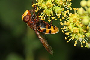 Hoverfly (Volucella inanis) feeding on Ivy flowers (Hedera helix) in a garden, Var, France, October  -  Pascal Pittorino