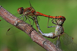 Red-veined darter dragonfly (Sympetrum fonscolombii) pair mating on a branch in a garden, Close up. Provence, France, October  -  Pascal Pittorino