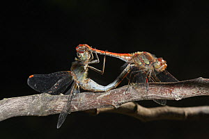 Red-veined darter dragonfly (Sympetrum fonscolombii) pair mating on a branch in a garden, against black backgroud, Close up. Provence, France, October  -  Pascal Pittorino
