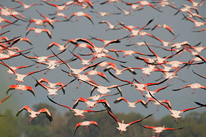 Greater flamingo (Phoenicopterus ruber) flock in flight, Delta del Ebro, Amposta, Catalunya, Spain.  -  Roland  Seitre