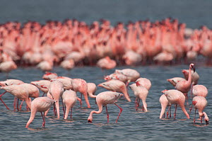 Lesser flamingo (Phoeniconaias minor) flock, Djoudj National Park, St Louis du Senegal, Senegal  -  Roland  Seitre
