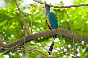 Great blue turaco (Corythaeola cristata) captive, occurs in Africa. - Roland  Seitre