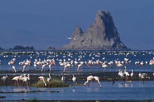 Lesser flamingo (Phoeniconaias minor)  flock in habitat, Abbe Lake, Djibouti. - Roland  Seitre