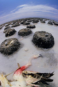 Andean flamingo (Phoenicoparrus andinus) abandoned colony with dead adult,  Chile - Roland  Seitre