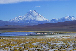 Andean flamingo (Phoenicoparrus andinus) flock in habitat, with Andean mountains behind, Chile - Roland  Seitre