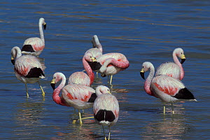 Andean flamingo  (Phoenicoparrus andinus) group in water, Chile - Roland  Seitre
