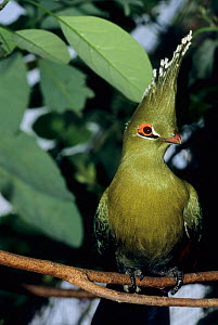 Schalow's turaco  (Tauraco schalowi) captive, occurs in Central Africa.  -  Roland  Seitre