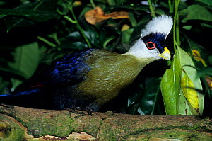 White-crested turaco (Tauraco leucolophus) Captive, occurs in Nigeria and Kenya.  -  Roland  Seitre