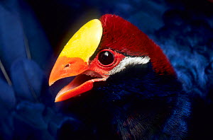 Violet turaco (Musophaga violacea) captive, occurs in West Africa.  -  Roland  Seitre