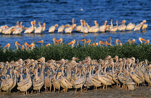 American white pelican (Pelecanus erythrorhynchos) juveniles in creche with adults behind, USA. - Roland  Seitre