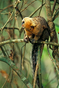 Buffy headed marmoset (Callithrix flaviceps) on branch with food in hand, Atlantic Forest, Minas Gerais, Brazil. Endangered species.  -  Cyril Ruoso