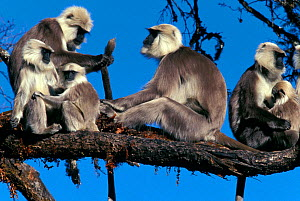 Central Himalayan langur (Semnopithecus schistaceus) adults and babies resting in a tree, Nepal. - Cyril Ruoso