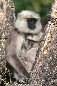 Female Central Himalayan langur (Semnopithecus schistaceus) and baby resting in a tree fork, Himalayan Mountains, Nepal. - Cyril Ruoso