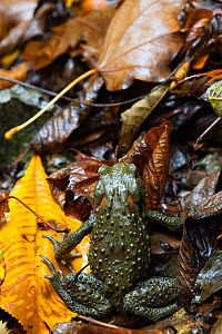 Japanese toad (Bufo japonicus) on leaves, it is diurnal here due to the large amount of moisture, Yoshino-Kumano National Park, Kansai Region, Japan, November. - Cyril Ruoso