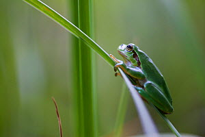 European tree frog (Hyla arborea) on reed, Alsace, France, June. - Cyril Ruoso