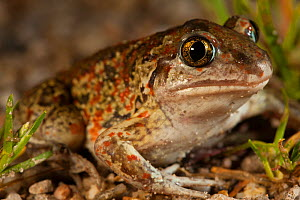 Common spadefoot toad (Pelobates fuscus) portrait, Alsace, France, June. - Cyril Ruoso