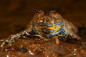 Yellow-bellied toad (Bombina variegata) in pond, Alsace, France, June.  -  Cyril Ruoso