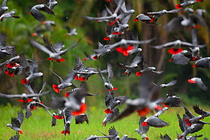 African Grey Parrot (Psittacus erithacus) flock taking off, Lake Lobak / Lobeke National Park, Cameroon, July.  -  Cyril Ruoso