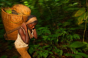 Baka woman carrying large basket while travelling through the rainforest, South East Cameroon, July 2008. - Cyril Ruoso