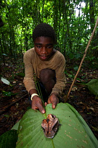 Baka man packing venomous Gabon viper (Bitis gabonica) head, killed during hunt, in leaf, South East Cameroon, July 2008.  -  Cyril Ruoso