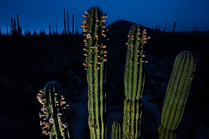 Elephant cactus (Pachycereus pringlei) flowering at night, just before sunrise, Vizcaino Desert, Baja California, Mexico, May.  -  Cyril Ruoso