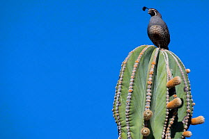 Male Gambel's quail (Callipepla gambelii) perched on top of an Elephant cactus (Pachycereus pringlei) Vizcaino Desert, Baja California, Mexico, May.  -  Cyril Ruoso