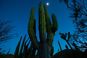 Elephant cactus (Pachycereus pringlei) at night, Vizcaino Desert, Baja California, Mexico, May.  -  Cyril Ruoso