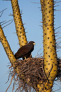Harris' hawk (Parabuteo unicinctus) on nest in a Boojum tree (Fouquieria columnaris) Vizcaino Desert, Baja California, Mexico, May.  -  Cyril Ruoso