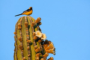 Male Hooded oriole (Icterus cucullatus) perched on top of Elephant cactus (Pachycereus pringlei) Vizcaino Desert, Baja California, Mexixo, May.  -  Cyril Ruoso