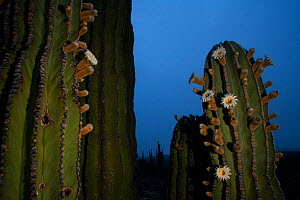 Elephant cactus (Pachycereus pringlei)  with flowers open just before dawn, Vizcaino Desert, Baja California, May.  -  Cyril Ruoso