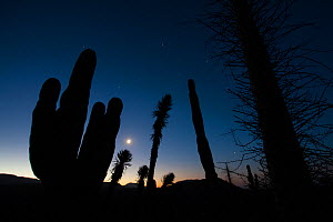 Boojum tree (Fouquieria columnaris), Elephant cactus (Pachycereus pringlei) and Datilillo (Yucca valida) silhouetted at night, Vizcaino Desert, Baja California, Mexico, May.  -  Cyril Ruoso
