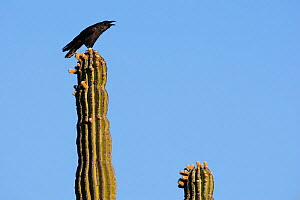 Raven (Corvus corax)  screaming perched on Elephant cactus (Pachycereus pringlei) Vizcaino Desert, Baja California, Mexico, May.  -  Cyril Ruoso