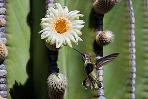 Black-chinned hummingbird (Archilochus alexandri) flying towards an Elephant cactus  (Pachycereus pringlei) flower, Vizcaino desert, Baja California, Mexico, May.  -  Cyril Ruoso