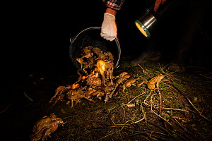 Person tipping out bucket full of European toads (Bufo bufo) after transporting them across a road, Poncet, Franche-Comte, France, March.  -  Cyril Ruoso