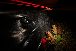 Three European toads (Bufo bufo) moving along a barrier towards an underpass to prevent roadkill during migration, Poncet, Franche-Comte, France, March. - Cyril Ruoso