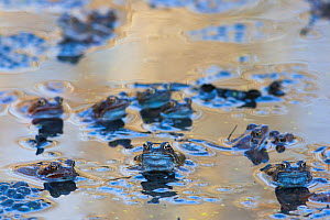 Common frogs (Rana temporaria) at surface in breeding pond with spawn, Burgundy, France, February. - Cyril Ruoso
