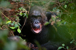 Male Chimpanzee (Pan troglodytes schweinfurthiii) vocalising before feeding on prey, Gombe National Park, Tanzania, October. - Cyril Ruoso