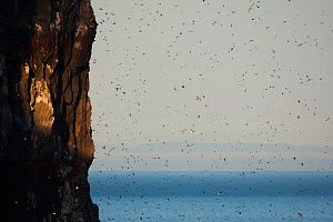 Seabirds, including Black-legged Kittiwake (Rissa tridactyla), Brunnich's guillemots (Uria lomvia), Common guillemots (Uria aalge) and Atlantic puffins (Fratercula arctica) nesting on cliff face and f... - Cyril Ruoso