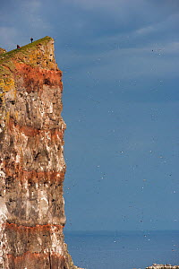 Seabirds nesting and flying past Latrabjarg cliff, with people on cliff top, West Fjords, Iceland, July 2007. - Cyril Ruoso