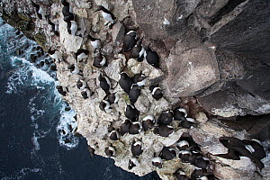 View down towards Common guillemot (Uria aalge) breeding colony on cliff, Latrabjarg Cliff, West Fjords, Iceland, July. - Cyril Ruoso