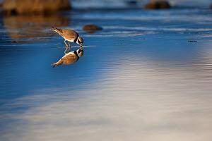 Common ringed plover (Charadrius hiaticula) in shallow water, Onundarfjordur Fjord, Iceland, June.  -  Cyril Ruoso