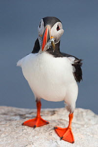 Atlantic puffin (Fratercula arctica) portrait, with a small amount fish in beak, a sign of overfishing, Langanes, Iceland, July. - Cyril Ruoso